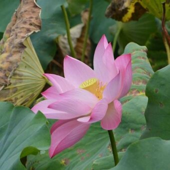 Harga Sunshop 10Pcs Lotus Flower Lotus Seeds Aquatic Plants Bowl LotusWater Lily Perennial Plant for Home Garden - intl